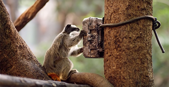 Still image of an emperor tamarin tampering with a camera trap used by the Zoological Society of London to help protect wildlife.