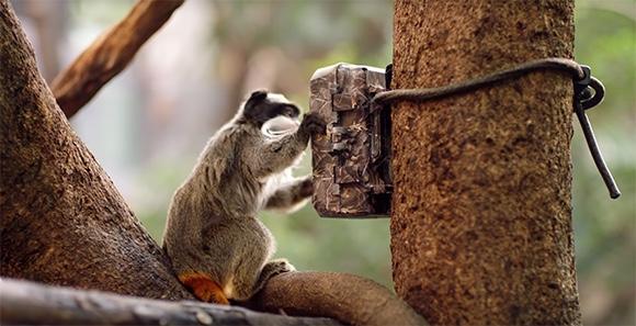 一張靜態圖片,圖中是一隻皇狨猴正在擺弄 Zoological Society of London 用來保護野生動物的相機陷阱。